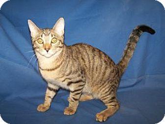 Domestic Shorthair Kitten for adoption in Colorado Springs, Colorado - Elton