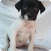 Labrador Retriever Mix Puppy for adoption in Champaign, Illinois - Jessica