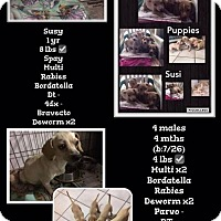Adopt A Pet :: Susy and pups  NEED FOSTER - Denver, CO