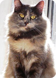 Maine Coon Cat for adoption in Richmond, California - Juliette