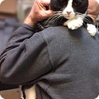 Adopt A Pet :: Mucho Pluto: Adorable Loving Tuxedo! - Brooklyn, NY