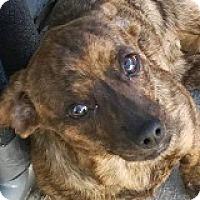 Adopt A Pet :: Edie Enamel - Houston, TX
