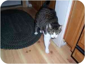 Domestic Shorthair Cat for adoption in North Plainfield, New Jersey - Ozzie