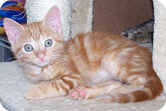 Domestic Shorthair Kitten for adoption in Troy, Michigan - Glinda