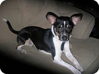 Rat Terrier/Boston Terrier Mix Dog for adoption in La Crosse, Wisconsin - Marley