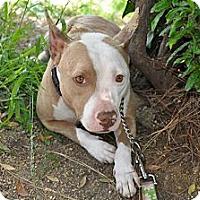 Adopt A Pet :: Piglet - Santa Monica, CA