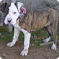 Adopt A Pet :: Brutus big pup - Sacramento, CA