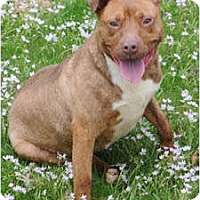 Adopt A Pet :: Poppy - Chicago, IL