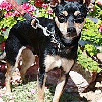 Adopt A Pet :: Buddy - Gilbert, AZ