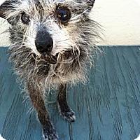 Adopt A Pet :: Joy - San Francisco, CA
