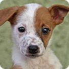 Adopt A Pet :: Little Joe von Cartright