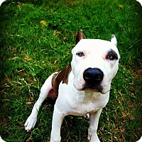 Pit Bull Terrier Mix Dog for adoption in Wichita Falls, Texas - Rosie