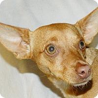 Adopt A Pet :: Little Red - Umatilla, FL