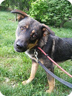 German Shepherd Dog Mix Dog for adoption in Louisville, Kentucky - Shiloh