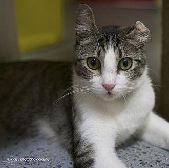 Domestic Shorthair Cat for adoption in Tucson, Arizona - Vander