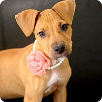 Adopt A Pet :: Lacie - Dalton, GA