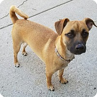 Chihuahua/Terrier (Unknown Type, Medium) Mix Dog for adoption in Carroll, Iowa - Milo