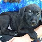 Adopt A Pet :: Sapphire(10 lb) New Pics/Video