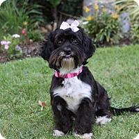 Adopt A Pet :: NICOLETTE - Newport Beach, CA
