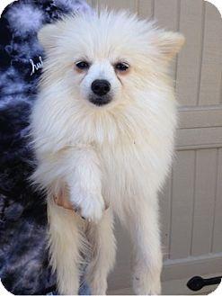 Pomeranian Dog for adoption in Temecula, California - Carson