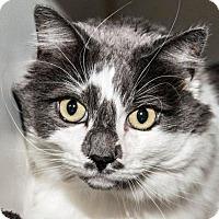 Domestic Longhair Cat for adoption in Prescott, Arizona - Heidi