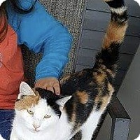 Domestic Shorthair Cat for adoption in Huntington, West Virginia - Pixie