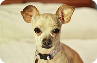 Chihuahua Dog for adoption in Romeoville, Illinois - Coco