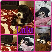Labrador Retriever Mix Puppy for adoption in Ft Worth, Texas - Lulu