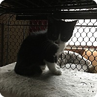 Domestic Shorthair Kitten for adoption in millville, New Jersey - marilyn
