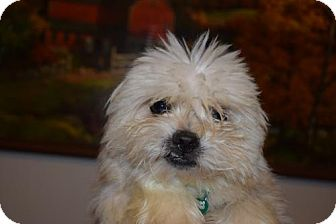 Cairn Terrier Mix Dog for adoption in Seattle, Washington - Armstrong Bean