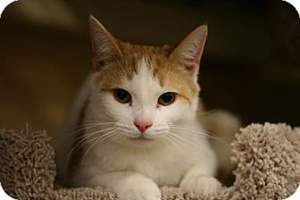 Domestic Shorthair Cat for adoption in Cary, North Carolina - Trent