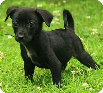 black jack russell chihuahua mix