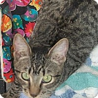 American Shorthair Kitten for adoption in Holmes Beach, Florida - Colleen