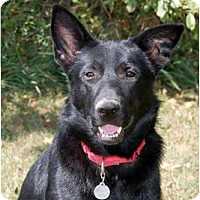Adopt A Pet :: Diesel - Kansas City, MO