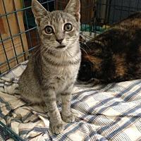 Domestic Shorthair Cat for adoption in Thibodaux, Louisiana - Pasquali Fe1-9216