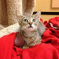 Domestic Shorthair Kitten for adoption in Miami, Florida - Refael