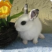 Adopt A Pet :: Ambrosia - Bonita, CA