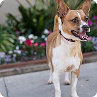 Adopt A Pet :: Reeses - Encino, CA