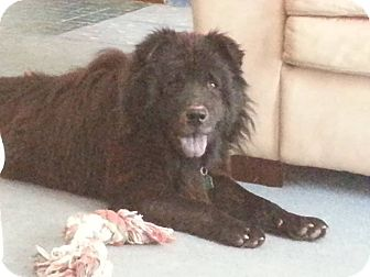 Chow Chow Dog for adoption in Dix Hills, New York - Chewy