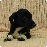 Adopt A Pet :: Lovey - Charlemont, MA