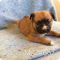 Adopt A Pet :: Ross - Albany, NY