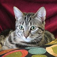 Domestic Shorthair Cat for adoption in Walnut Creek, California - Rose