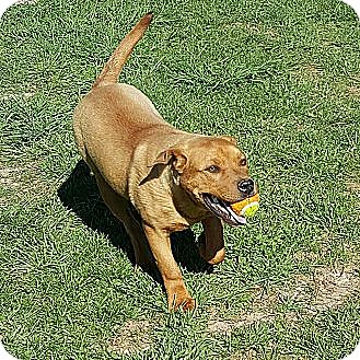 Boxer/Labrador Retriever Mix Puppy for adoption in Sussex, New Jersey - Rudy I <3 to fetch