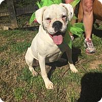 Adopt A Pet :: Bonnie - Brentwood, TN