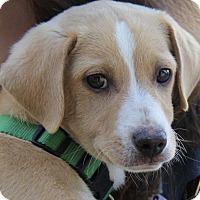 Adopt A Pet :: Denny - Minneapolis, MN