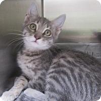 Adopt A Pet :: Destiny - North Richland Hills, TX