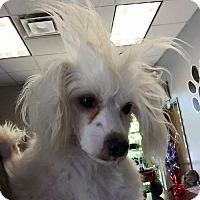 Adopt A Pet :: Iodine - Elgin, IL