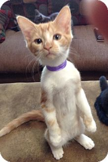 Domestic Shorthair Kitten for adoption in Phoenix, Arizona - Tres