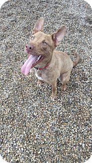 Shepherd (Unknown Type) Mix Dog for adoption in Holland, Michigan - Akira