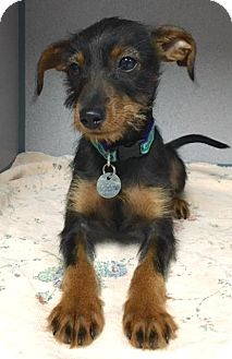 Miniature Pinscher/Terrier (Unknown Type, Small) Mix Puppy for adoption in Atlanta, Georgia - Lucy